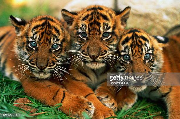 Three Sumartran tiger cubs (Panthera tigris sumatrae), close-up