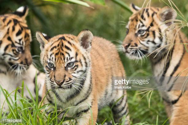 Three Sumatran Tiger cubs are seen on display at Taronga Zoo on March 29 2019 in Sydney Australia The three Sumatran Tiger cubs were born in January...