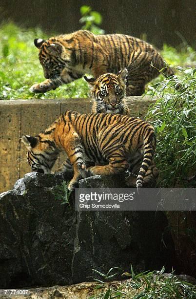 Three Sumatran tiger cubs make their public debut at the Smithsonian National Zoological Park September 2 2006 in Washington DC Weighing between 25...
