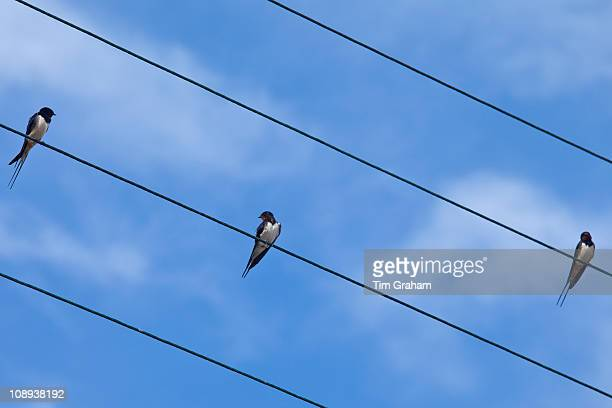 Three swallows perching bird on the wire in County Clare West of Ireland