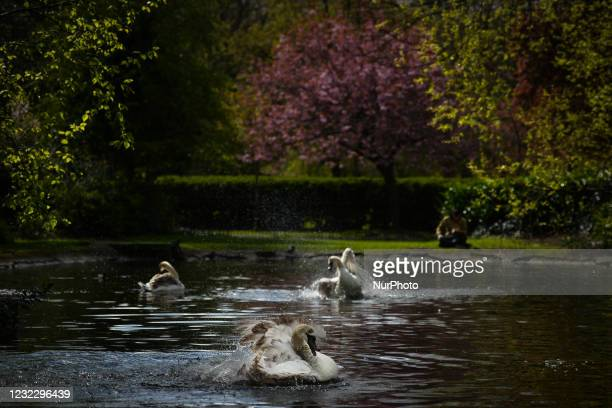 Three swans at a pond in St. Stephen's Green, Dublin, during the COVID-19 lockdown. On Tuesday, 13 April 2021, in Dublin, Ireland.