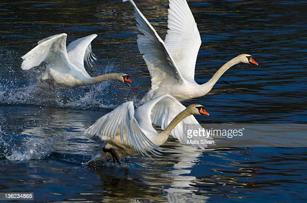Three swans for take off
