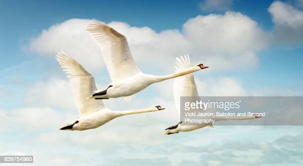 Three Swans in Flight Against Blue Sky with Clouds