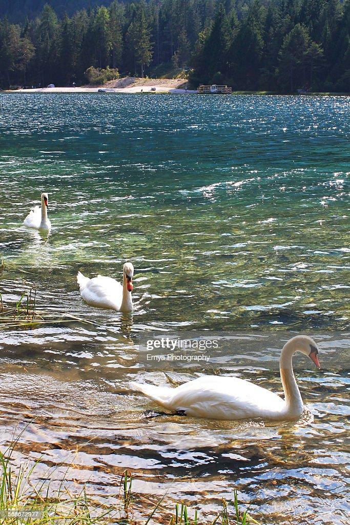Three swans : Stock Photo