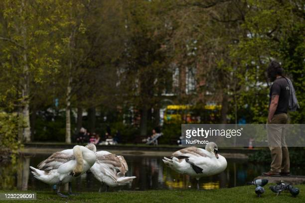 Three swans seen next to a pond in St. Stephen's Green, Dublin, during the COVID-19 lockdown. On Tuesday, 13 April 2021, in Dublin, Ireland.