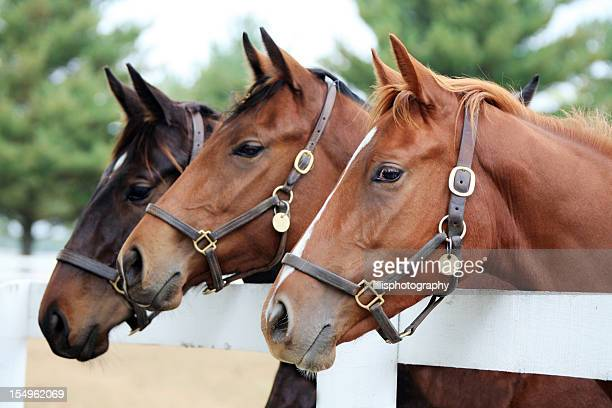 Three Thoroughbred Horses
