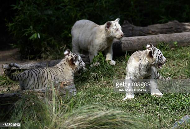 Three threemonthold white Bengal tiger cubs two females and one male play in their enclosure at the Buenos Aires' Zoo in Argentina on April 17 2014...