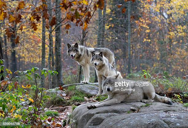 three timber wolves in autumn rain - lobo fotografías e imágenes de stock