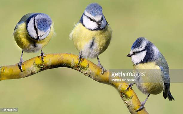 three tits - bluetit stock photos and pictures
