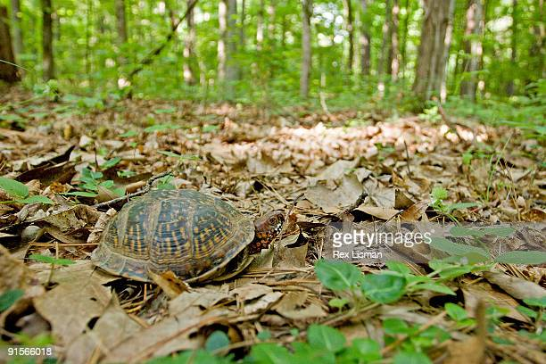three toed box turtle - box turtle stock pictures, royalty-free photos & images