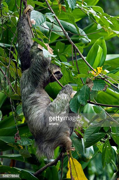 Three toed / Brownthroated sloth climbing tree in rainforest Costa Rica Central America