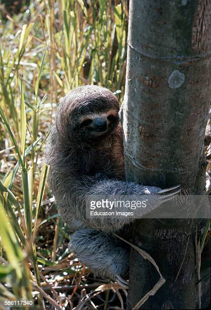 Three toed sloth Costa Rica Bradypus tridactylus