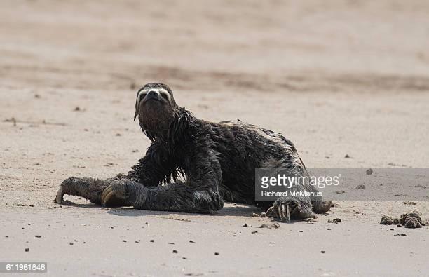 Three toed sloth on beach in Manu