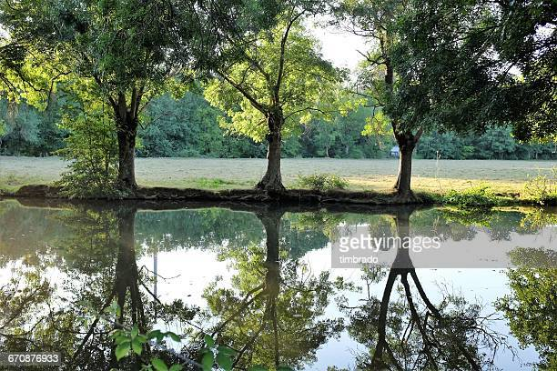 Three trees reflected in a river, Niort, France