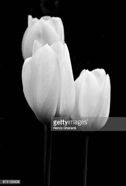three tulips - renzo gherardi stock photos and pictures