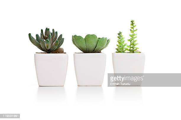 Three varieties of mini cactus in pots