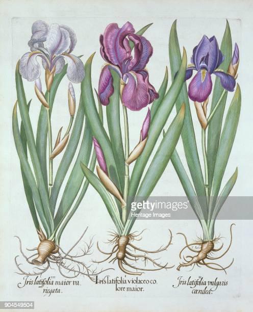 Three varieties of rhizomatous bearded irises from 'Hortus Eystettensis' by Basil Besler 156116 i Iris Latifolia violaceo co lore maior iiIris...