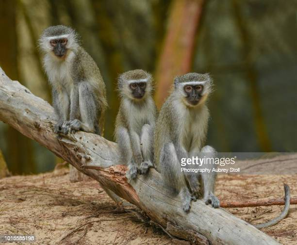Three Vervet Monkeys