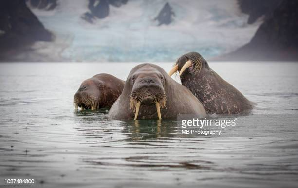 three walrus swimming - walrus stock photos and pictures