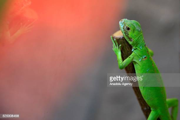A three week old baby green iguana '' Musti'' changing its color depend on temperature health and social status is seen at Antalya Metropolitan...