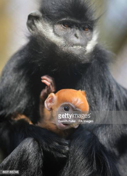 A three week old FranAtildesectois' Langur is held by his auntie Grubb as he makes his public debut at Howletts Wild Animal Park near Canterbury Kent