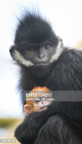 A three week old FranAtildesectois' Langur is held by his mother Ena as he makes his public debut at Howletts Wild Animal Park near Canterbury Kent