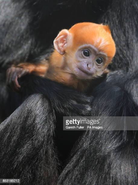 A three week old FranAtildesectois' Langur makes his public debut at Howletts Wild Animal Park near Canterbury Kent