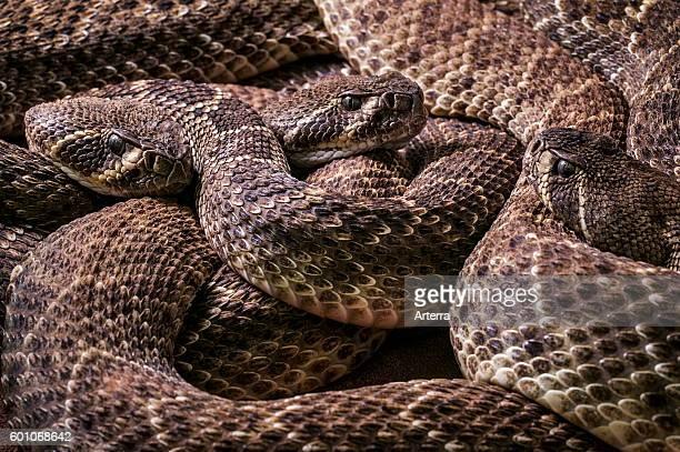 Three Western diamondback rattlesnakes / Texas diamondback rattlesnake curled up native to the United States and Mexico