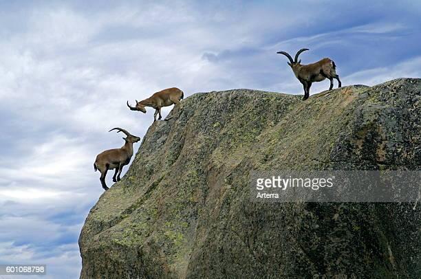 Three Western Spanish ibexes standing on edge of rock face Sierra de Gredos Spain