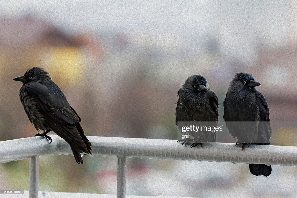 Free rain crow images, pictures, and royalty-free stock phot.