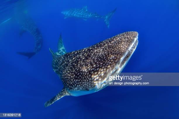 three whale sharks, rhincodon typus - central sulawesi stock pictures, royalty-free photos & images