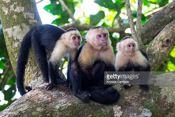 three white - faced capuchin monkeys on tree - capuchin monkey stock pictures, royalty-free photos & images