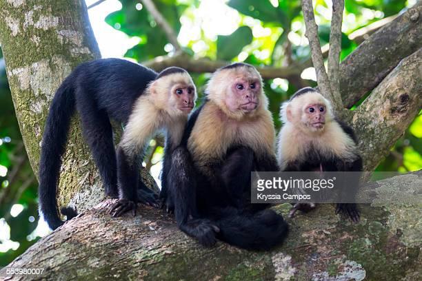 three white - faced capuchin monkeys on tree - mono capuchino fotografías e imágenes de stock