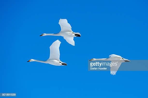 Three Whooper Swans -Cygnus cygnus- in flight, Kussharo Lake, Kawayu Onsen, Hokkaido, Japan