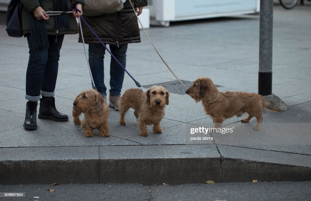 Three Wirehaired Dachshunds Stock Photo | Getty Images
