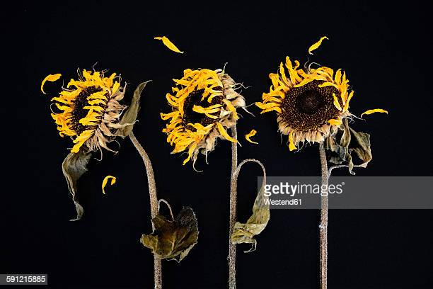 three withered sunflowers in front of black background - dead rotten fotografías e imágenes de stock