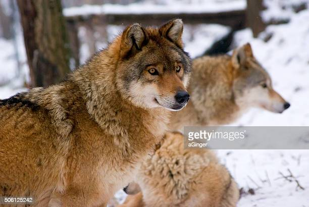 three wolfes in snow - eurasia stock pictures, royalty-free photos & images