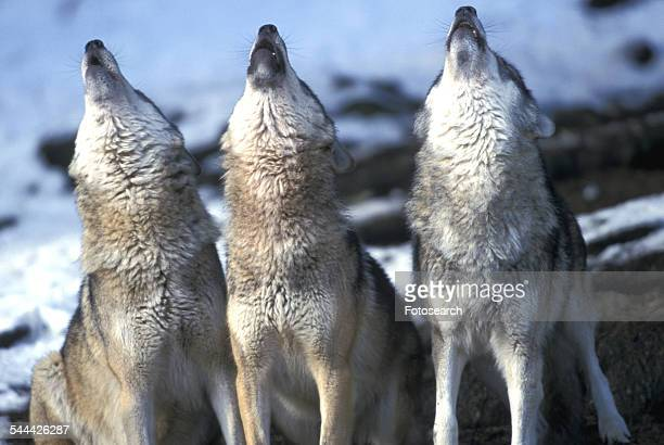 three wolves howling - loup blanc photos et images de collection