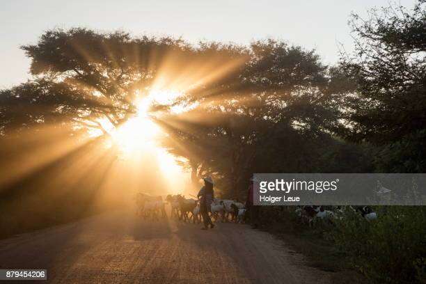 Three women herd goats across a dusty track near the ancient temples of Bagan at sunset, Bagan, Mandalay, Myanmar