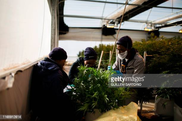 Three workers from Medigrow a LesothoCanadian company that grows legal cannabis look for infections in a cannabis plant inside a greenhouse located...