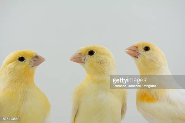 three yellow birds