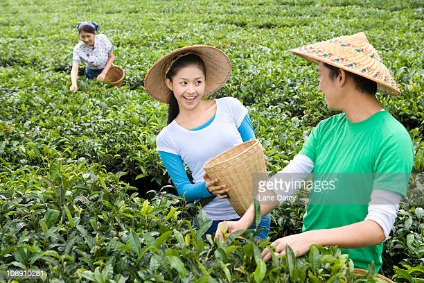 Three Young People Picking Tea