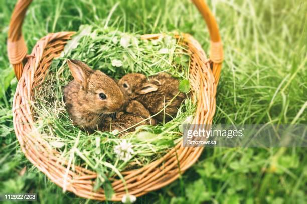tre giovani conigli in un cesto - animali pasquali foto e immagini stock