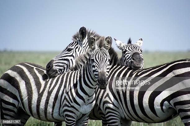 Three Zebras in the Serengeti National Park