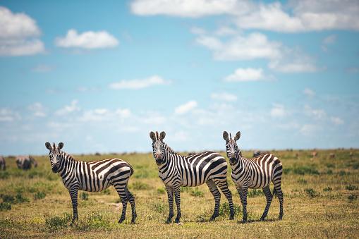 Three Zebras 1173733636