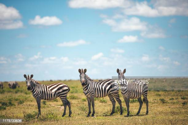 three zebras - zebra stock pictures, royalty-free photos & images