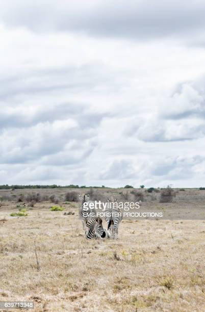 three zebras standing on field against cloudy sky - ems forster productions stock pictures, royalty-free photos & images