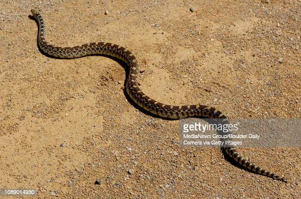 A threefoot Bull snake sits in the sun on a portion of the Davidson Mesa Trail in Louisville on Monday The snake preys on small rodents and is also...