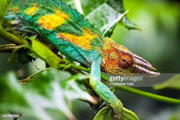 Three-horned Chameleon, Rwenzori Mountains, Uganda