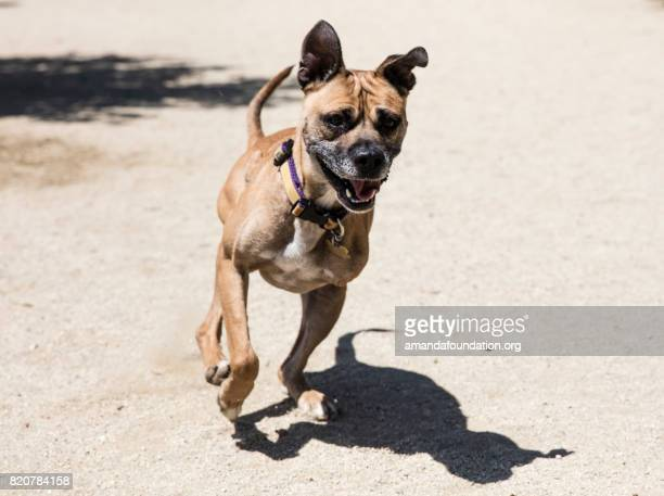 Three-legged Boxer Mix Running at a Park - The Amanda Collection